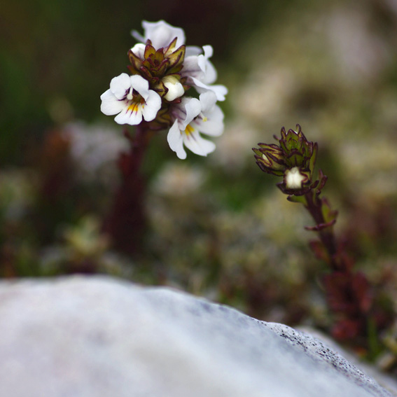 Eyebright, Tasmanian alpine flower