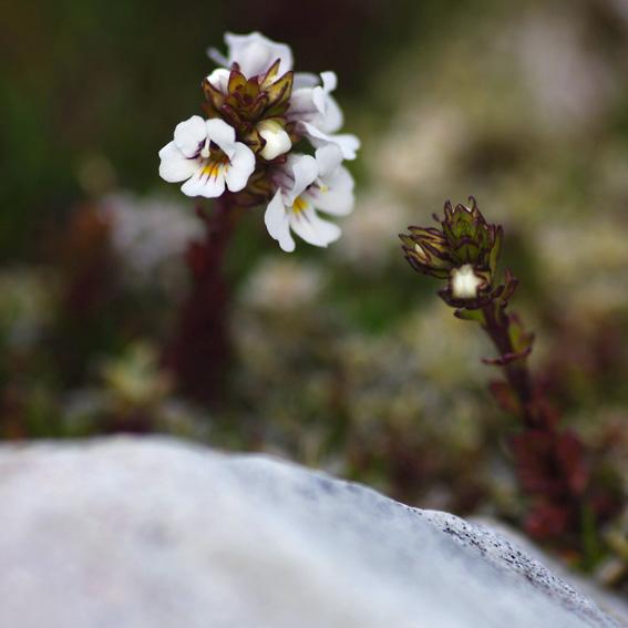 Eyebright, Tasmanian alpine flower