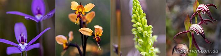 Arthur Pieman Conservation Area Orchids