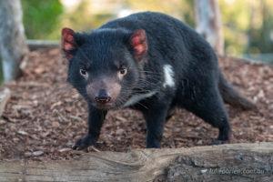 Tasmanian Devil at Bonorong Wildlife Park Tasmania
