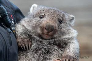 Wombat at Bonorong Wildlife Sanctuary Tasmania