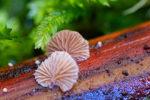 Fungi at St Columba Falls, autumn 2021
