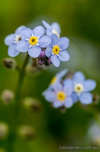 Bruny Island, Forget me not, macro photography