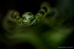 Bruny Island macro photography fern