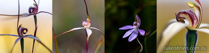 Tasmanian Spider Orchids – Caladenias