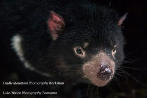 Devils@Cradle - photograph Tasmanian Devils and quolls