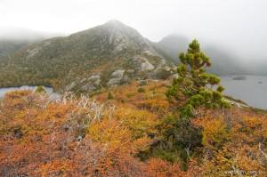 Fagus Tasmania - Autumn, Cradle Mountain
