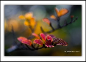 Fagus, Macro. Cradle Mountain