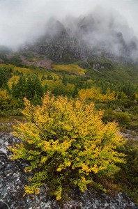 Fagus at Cradle Mountain, Autumn