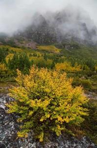 Fagus at Cradle Mountain, Autumn