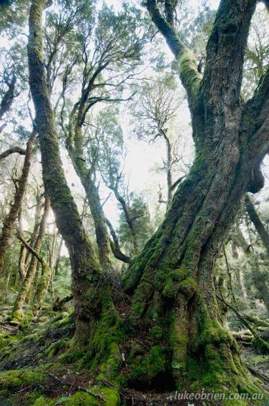 Giant Myrtle, Cradle Mountain, Tasmania