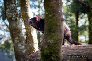 devils@cradle wildlife park tasmania