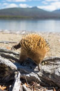Echidna Lake St Clair Tasmania