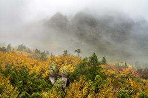Fagus Cradle Mountain Tasmania