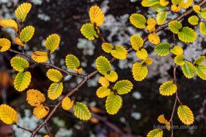 Nothofagus gunii, Tasmania's deciduous beech in autumn. Mt Field.