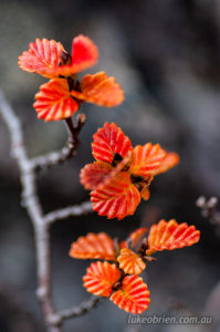 Nothofagus gunii, the fagus. Autumn leaves on Mt Murchison
