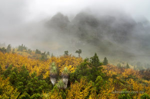 Cradle Mountain covered in mist and autumn glow of fagus