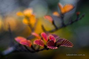 Autumn hues of the fagus leaves