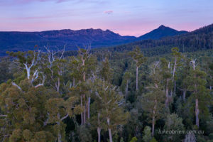 Tall trees at dawn in Tasmania's Florentine Valley