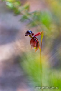 Flying Duck Orchid at Peter Murrell Reserve in Kingston