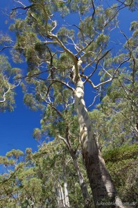 Eucalypt woodland near Mt Freycinet