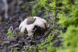 Earthstar fungi on the Myrtle Gully track