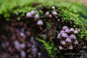 Nice pink/purple fungi at St Columba Falls