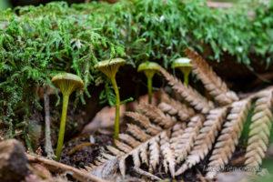 Green fungi tasmania
