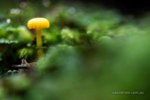fungi styx valley tasmania