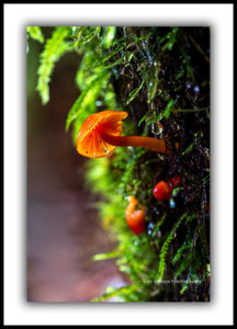 Tarkine, red hygrocybe fungi