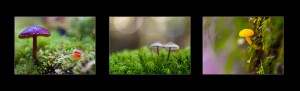 Tasmanian Landscape Photography: Macro fungi, Upper Florentine Valley
