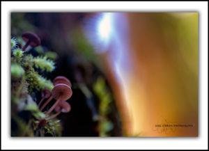 tasmanian fungi upper florentine valley
