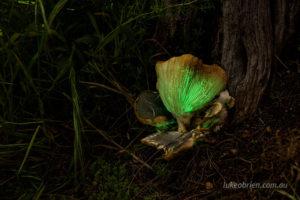 Ghost fungi - Omphalotus nidiformis, in Hobart Tasmania
