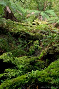 Rainforest on the Growling Swallet walk, Tasmania