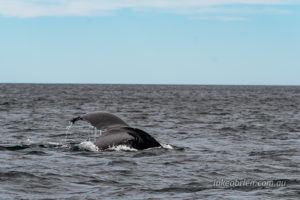 Tail flukes of the humpback whale