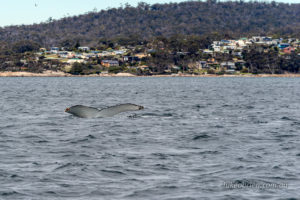 Humpback Whale with Binalong Bay on the background.