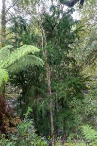 Huon Pine at the picnic area