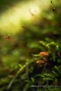 japanese fungi omoinotaki fukushima