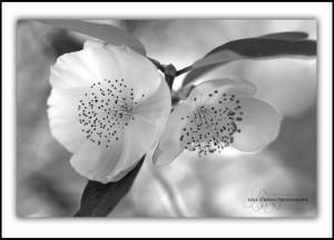 Leatherwood flowers, black & white