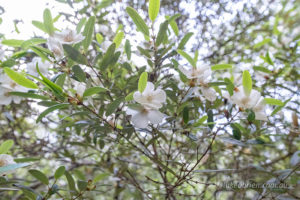 Leatherwood (Eucryphia lucida) flowers