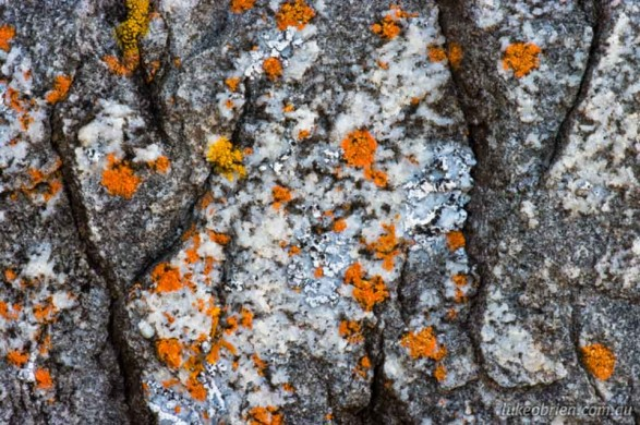 Lichen, North Coast