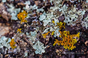 lichen freycinet national park tasmania
