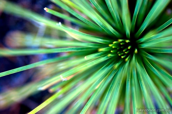 Macro photography - Grass Tree, Narawntapu