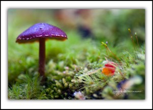 Purple Toadstool, Mt Field