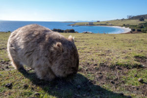 Wombat, Darlington, Maria Island