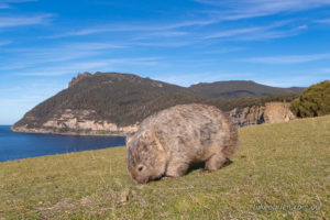 Wombat with Fossil Cliffs in the background