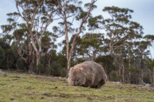 Wombat on Maria Island Tasmania