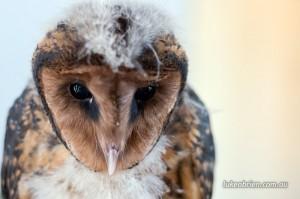 Tasmanian Masked Owl Raptor Refuge