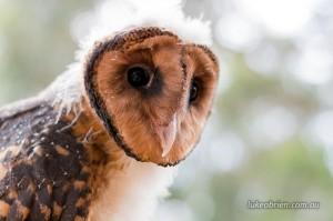 Tasmanian Masked Owl, Raptor Refuge
