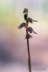 Midge orchid, Peter Murrell